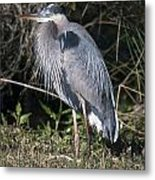Pround Blue Heron Metal Print