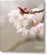 Prunus Hirtipes Metal Print