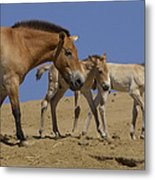 Przewalskis Horse With Two Foals Metal Print