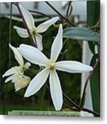 Psalm Eighteen Two White Clematis Metal Print
