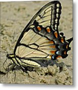Puddling Eastern Tiger Swallowtail Butterfly Metal Print
