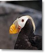 Puffin Tufted 1 Metal Print