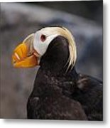 Puffin Tufted 2 Metal Print