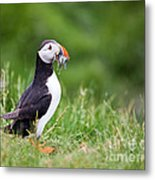 Puffin With Sandeels Metal Print