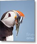 Puffin With Sandeels Portrait Metal Print