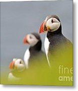 Puffins In Iceland Metal Print