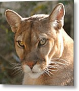 Puma Closeup Metal Print