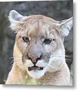 Puma Head Shot Metal Print by John Telfer