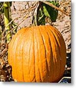 Pumpkin Growing In Pumpkin Field Metal Print