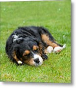 Puppy Asleep With Garden Daisy Metal Print