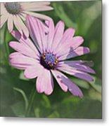 Purple African Daisy Metal Print