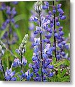 Purple Alaskan Lupines Metal Print