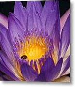 Purple And Bright Yellow Center Waterlily... Metal Print