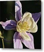 Purple And Cream Columbine Flower Metal Print