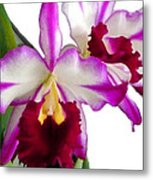 Purple And White Cattleyas Against White Space Metal Print