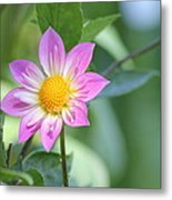 Purple And Yellow Dahlia Metal Print