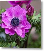 Purple Anemone. Flowers Of Holland Metal Print