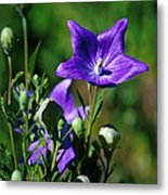 Purple Balloon Flower Metal Print