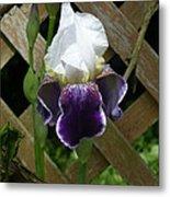 Purple Bearded Iris Metal Print