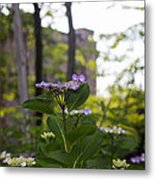 Purple Blossoms Lacecap Hydrangeas Metal Print