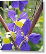 Purple Clematis Clinging On A Fence Metal Print