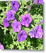 Petunias Purple Club Metal Print