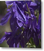 Purple Columbine 2 Metal Print