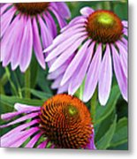 Purple Coneflowers - D007649a Metal Print