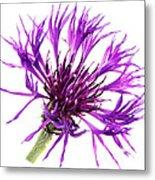 Purple Cornflower Metal Print by Jo Ann Snover