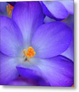 Purple Crocus Close-up Metal Print