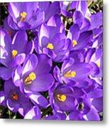 Purple Crocus Spring Welcome Metal Print