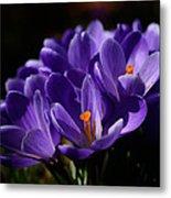 Purple Crocuses On A Spring Day Metal Print
