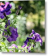 Purple Delight. Petunia Bloom Metal Print
