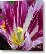 Purple Dual Coloured Tulip Metal Print