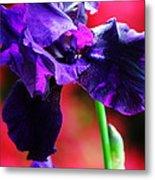 Purple Dutch Iris Metal Print