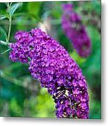 Butterfly Bush Garden Flower Metal Print