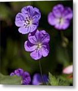 Purple Geranium Flowers Metal Print