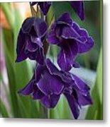 Purple Gladioli Metal Print