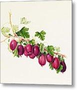 Purple Gooseberry Metal Print