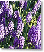 Purple Grape Hyacinth  Metal Print