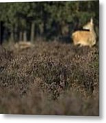 Purple Heather In The Background A Female Deer Netherlands Metal Print