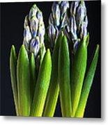 Purple Hyacinth Ready For Spring. Metal Print