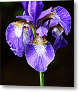 Purple Iris Metal Print by Adam Romanowicz