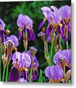 Purple Iris Bliss Metal Print