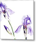 Purple Iris Glow Metal Print