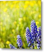 Blue Muscari Mill Bunches Of Grapes Close-up  Metal Print