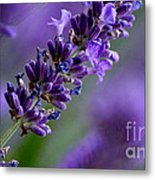 Purple Nature - Lavender Lavandula Metal Print
