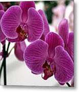 Royal Orchids  Metal Print