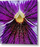 Purple Pansy In Pollen Metal Print