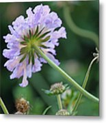 Purple Pincushion Flower Metal Print